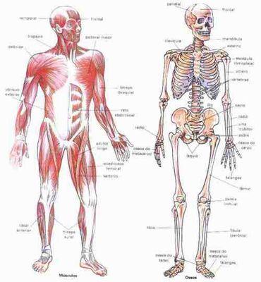 Portal Do Professor O Corpo Em Movimento Ossos E Músculos