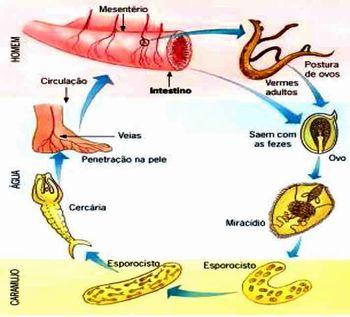 Ciclo completo de vida do Esquistossomo