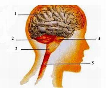 sistema nervoso 1