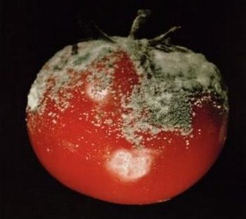 tomate podre
