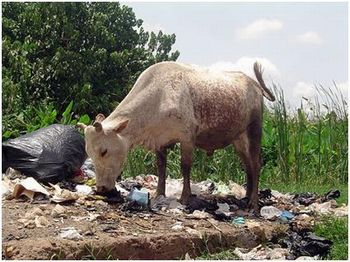 poluição + vaca