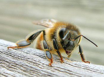 abelha apis