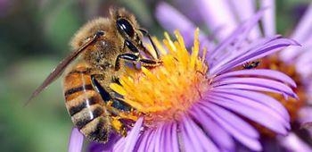 abelha apis 2